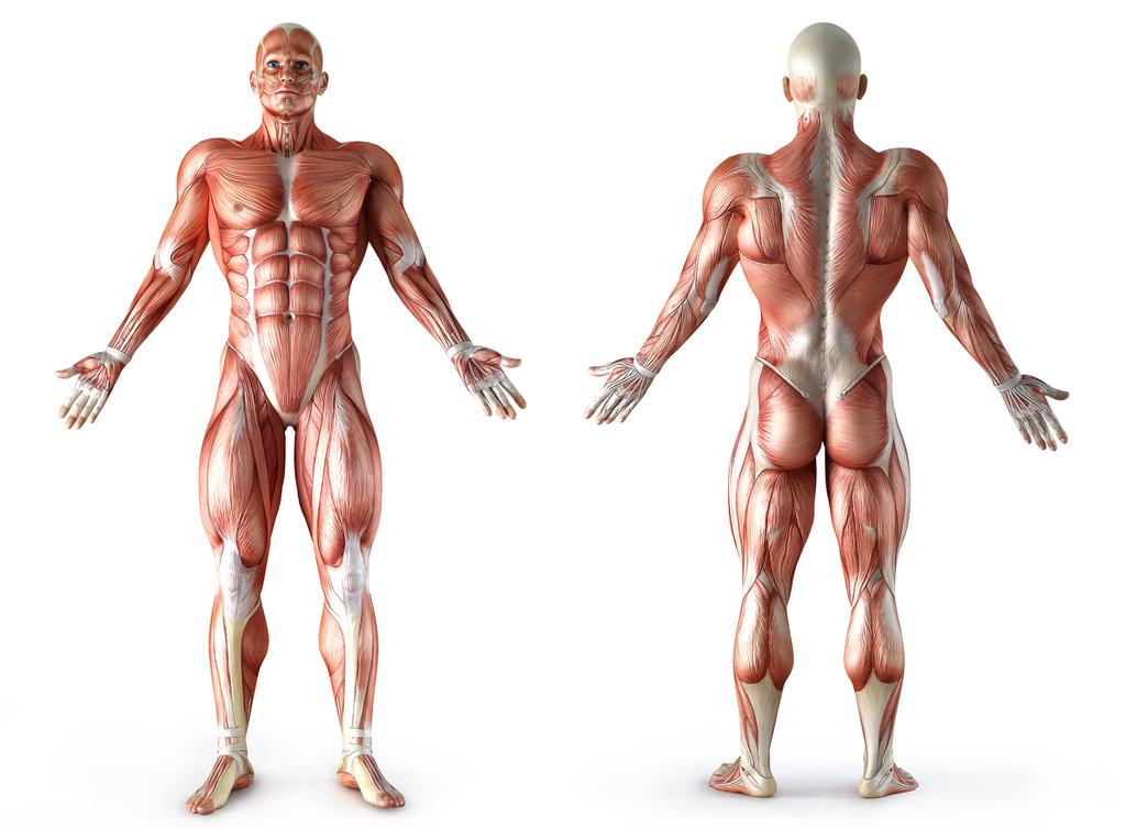 bodyweight-anatomie